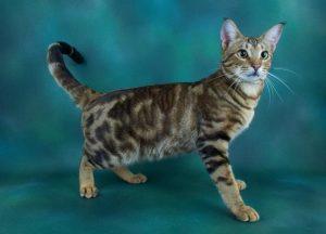 Jungala Cat