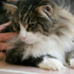 norwegein forest cat